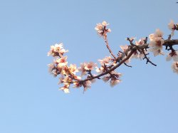 ALMOND TREE IN BLOOM 3