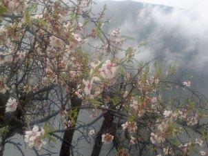 ALMOND TREE IN BLOOM 5