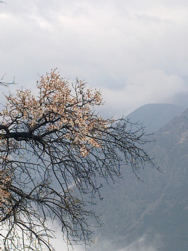 ALMOND TREE OVER VALLEY
