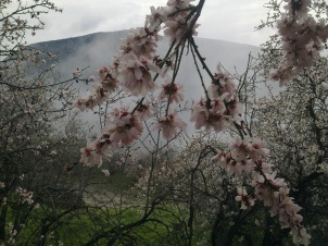 ALMOND TREE IN BLOOM 4