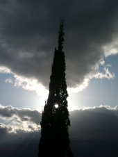 CYPRESS TREE 1