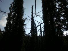 CYPRESS TREE 8
