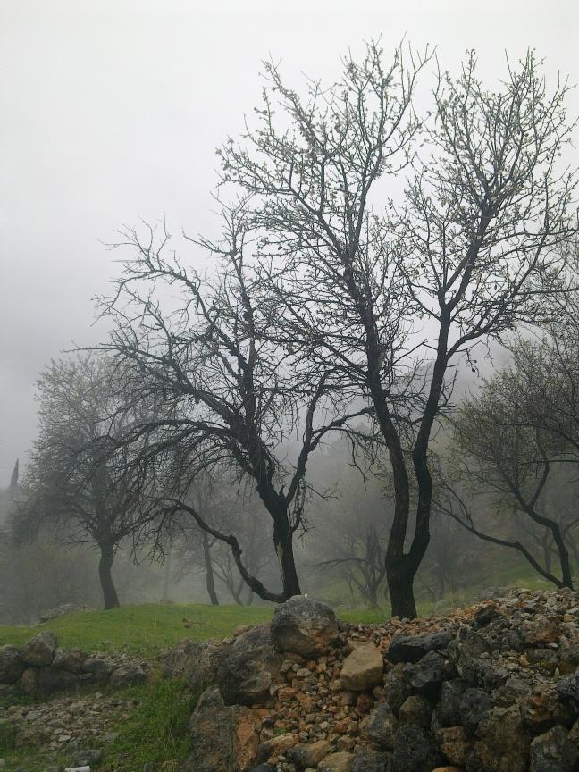 ALMOND TREE IN BLOOM 9