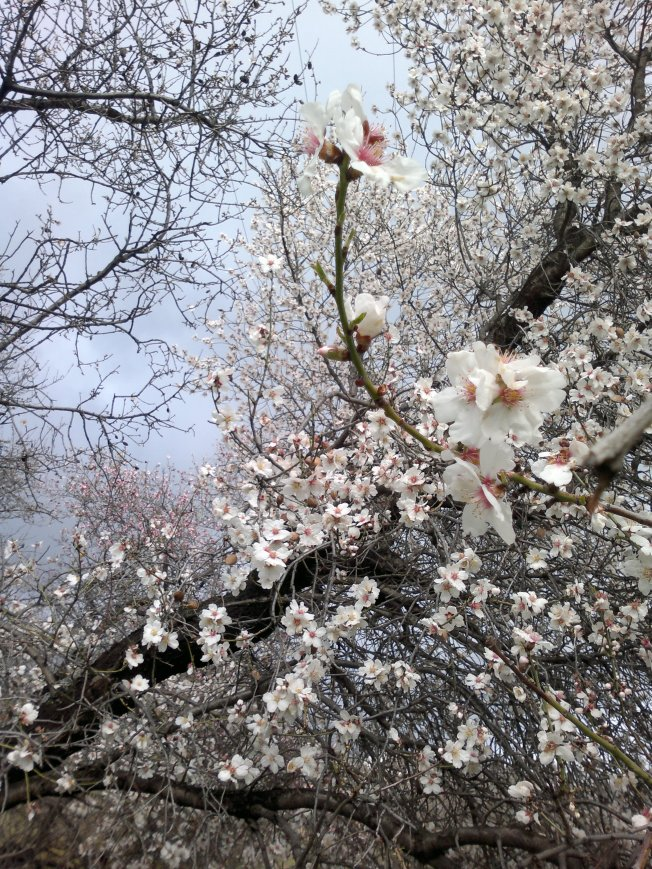 ALMOND TREES IN BLOOM 1 SIGFRIDSSON