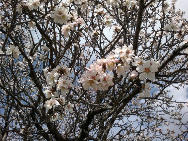 ALMOND TREES IN BLOOM  - 1 SIGFRIDSSON