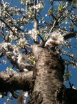 ALMOND TREES IN BLOOM