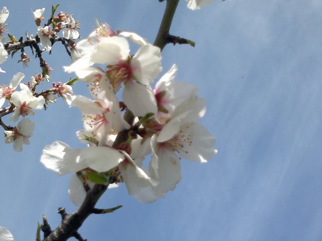 ALMOND TREES IN BLOOM 5