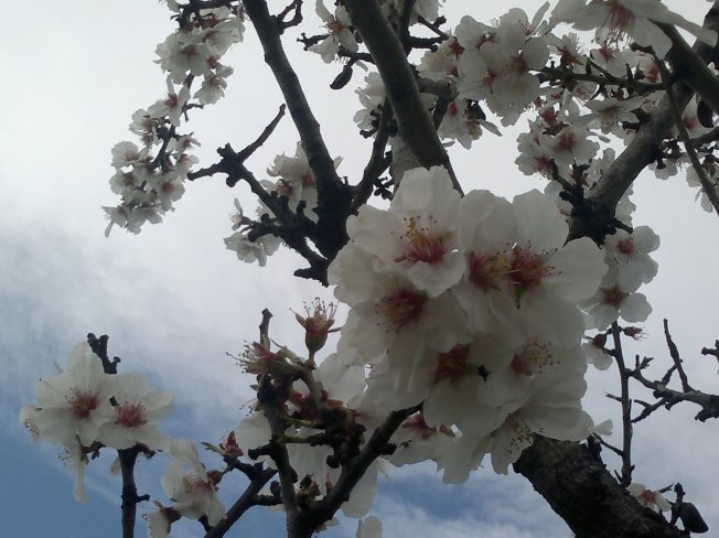 ALMOND TREES IN BLOOM 1