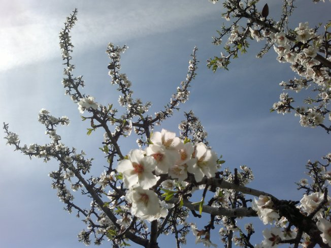 ALMOND TREES IN BLOOM 3