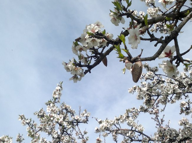 ALMOND TREES IN BLOOM 4