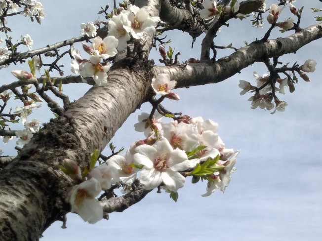 ALMOND TREES IN BLOOM 6