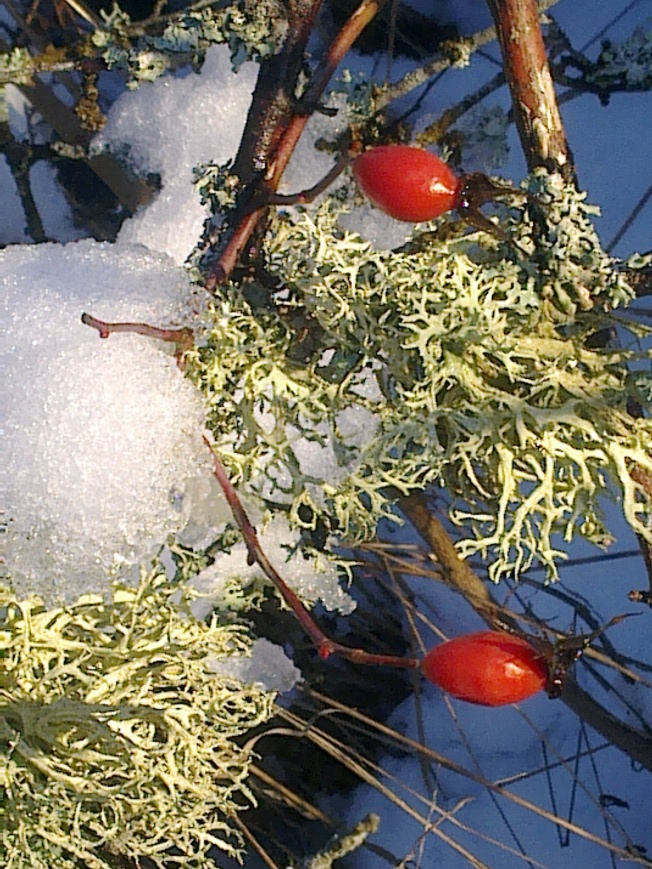 WINTER ROSEHIP