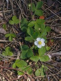 WILD STRAWBERRY FLOWERS 8