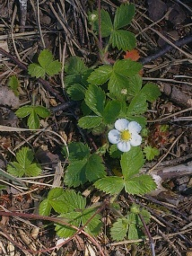 WILD STRAWBERRY FLOWERS 8