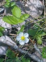 WILD STRAWBERRY FLOWERS 4