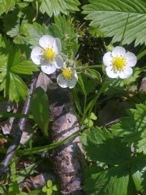WILD STRAWBERRY FLOWERS 10
