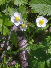 WILD STRAWBERRY FLOWERS 10
