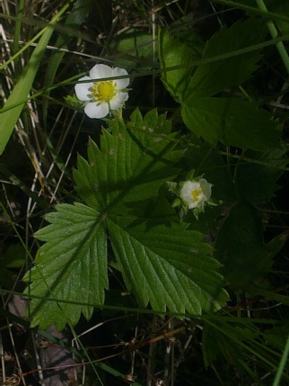 WILD STRAWBERRY FLOWERS 11