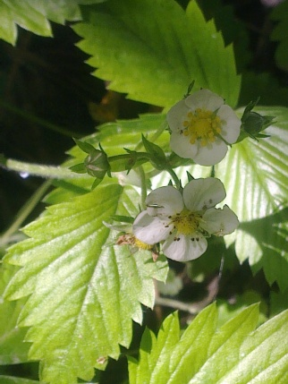 WILD STRAWBERRY FLOWERS 12