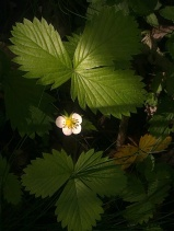 WILD STRAWBERRY FLOWERS 6