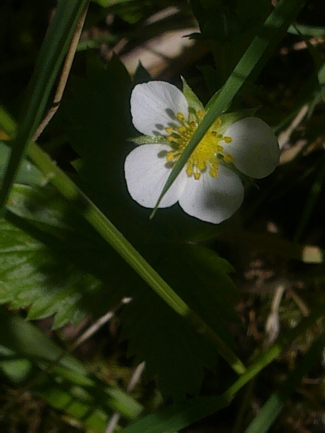 WILD STRAWBERRY FLOWERS 2