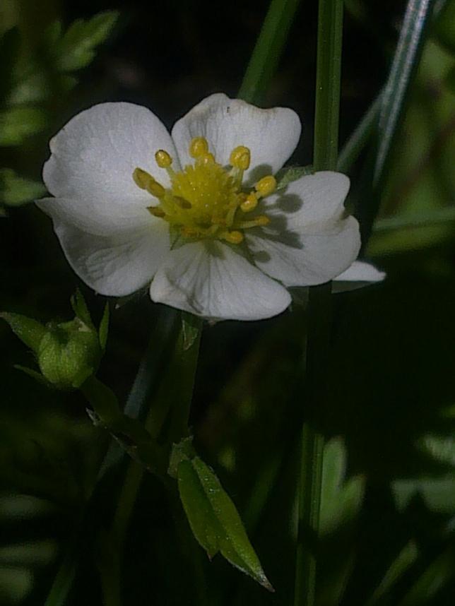 WILD STRAWBERRY FLOWERS 3
