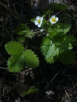 WILD STRAWBERRY FLOWERS 5
