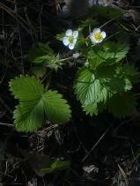 WILD STRAWBERRY FLOWERS 5