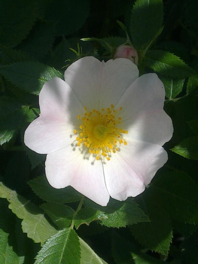 ROSE-HIP FLOWERS 1