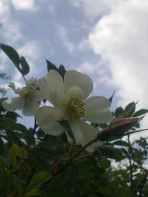 ROSE-HIP FLOWERS 10