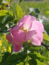 ROSE-HIP FLOWERS 11