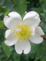 ROSE-HIP FLOWERS 12