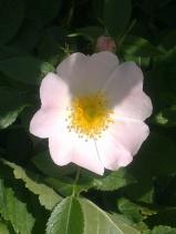 ROSE-HIP FLOWERS 13