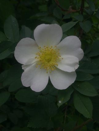 ROSE-HIP FLOWERS 15
