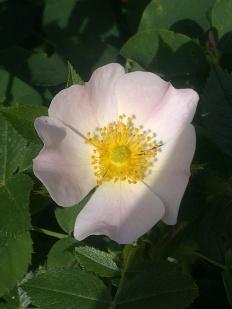 ROSE-HIP FLOWERS 17