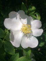 ROSE-HIP FLOWERS 19