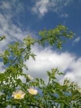 ROSE-HIP FLOWERS 20