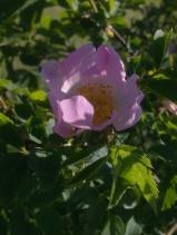 ROSE-HIP FLOWERS 21