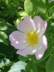 ROSE-HIP FLOWERS 23