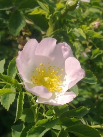 ROSE-HIP FLOWERS 24