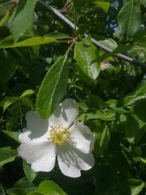ROSE-HIP FLOWERS 25
