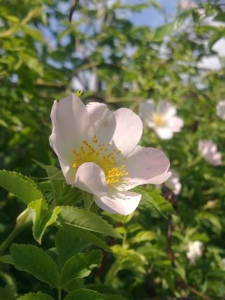 ROSE-HIP FLOWERS 26