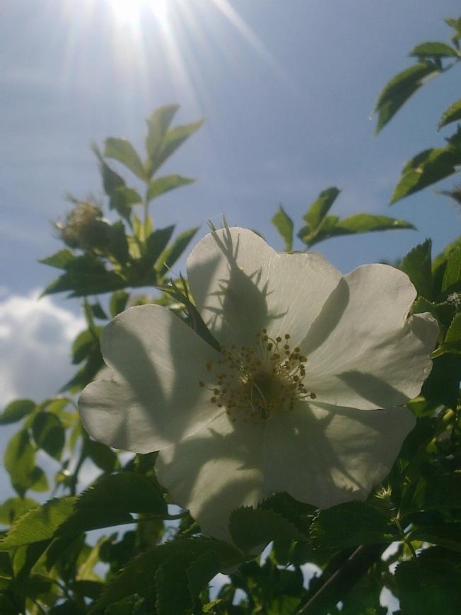 ROSE-HIP FLOWERS 3