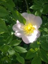 ROSE-HIP FLOWERS 5