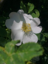 ROSE-HIP FLOWERS 6