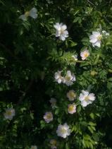 ROSE-HIP FLOWERS 7