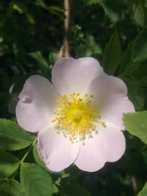 ROSE-HIP FLOWERS 9