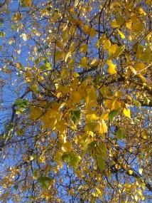 wood-birch-ii