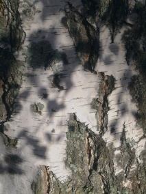 wood-birch