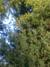 wood-juniper-ii